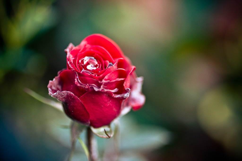 Eine stolze Rose