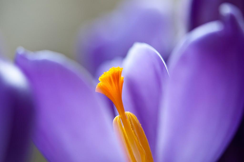 Violette Tulpenblüte