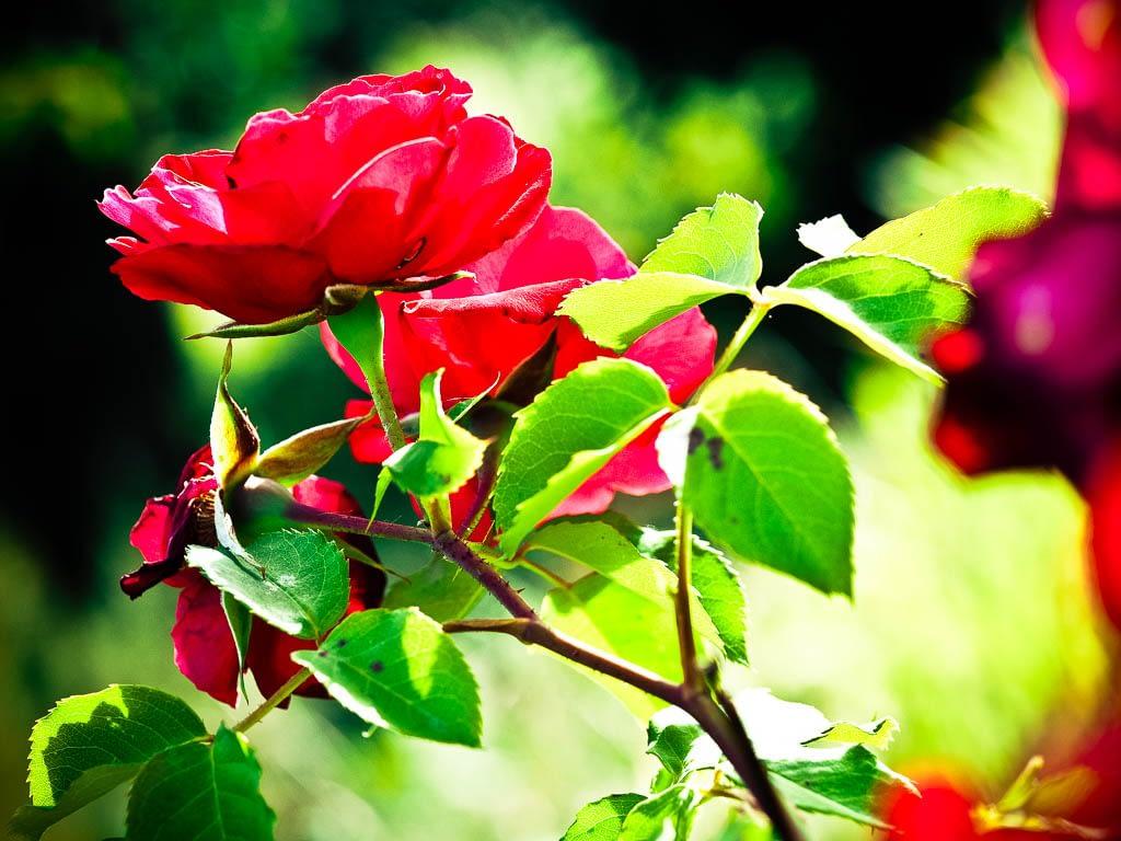 Dornige Rosen