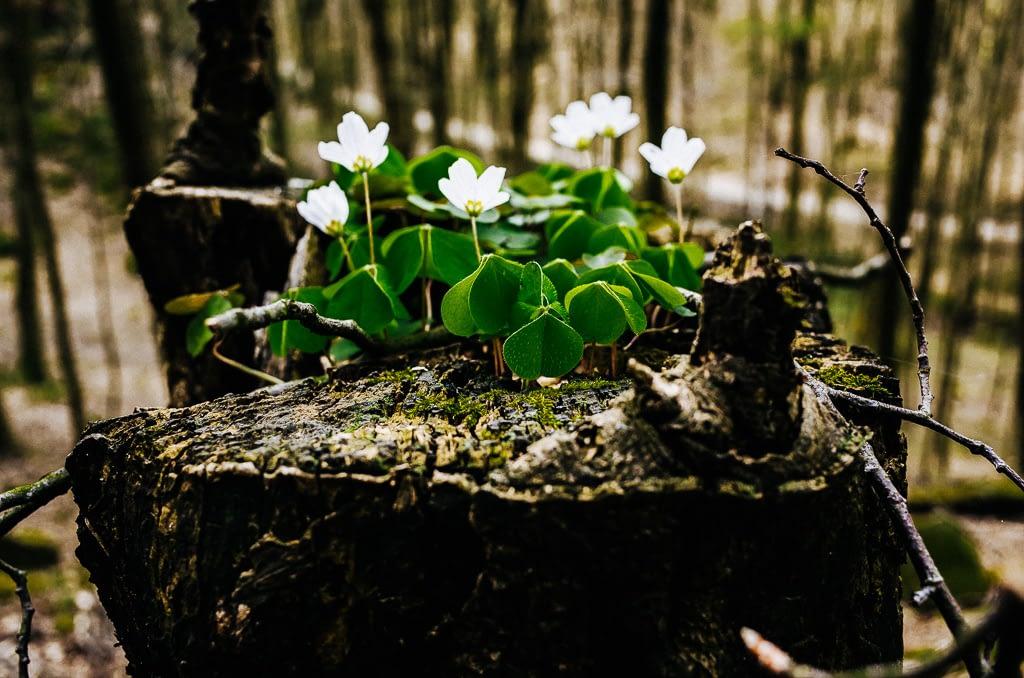 Ungleichheit - Waldanemonen auf altem Holz