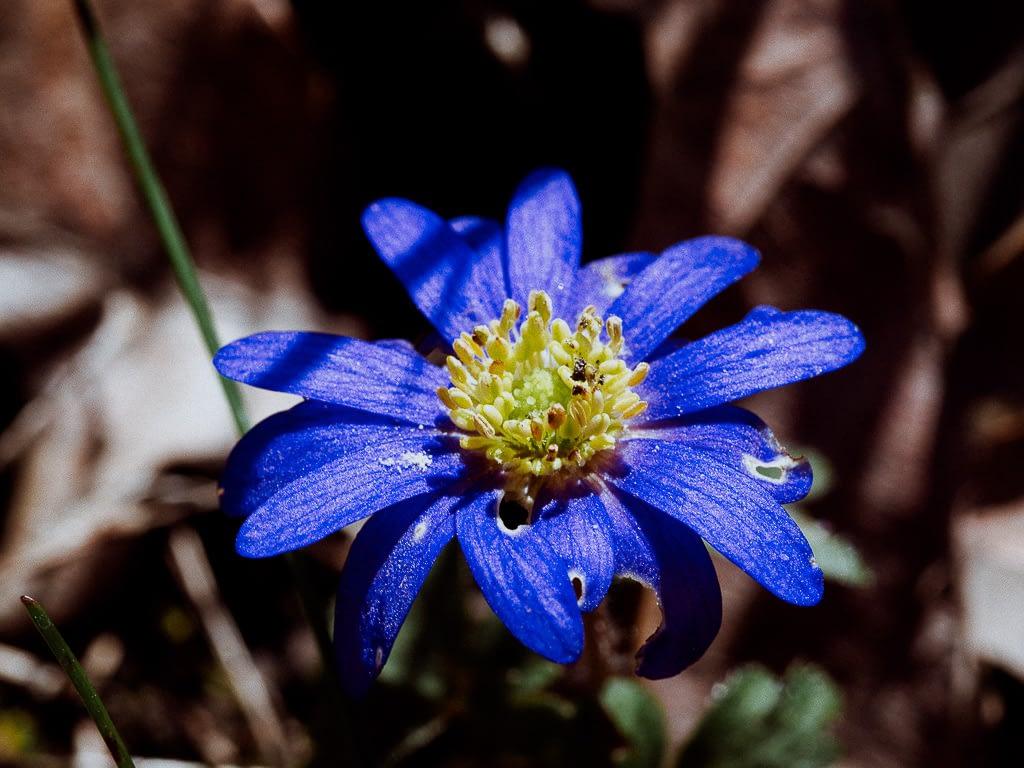 Die blaue Blume als Sehnsuchtsmotiv