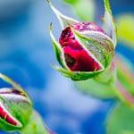 Zwei rote Rosen - wie eine Paarbeziehung