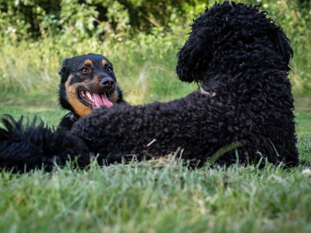 Begegnung : Zwei Hunde blicken sich an