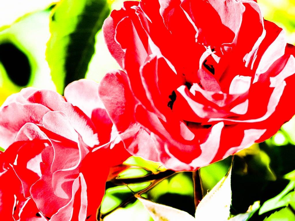 Kunstvolle Rose - eine Paarbeziehung kann man lernen
