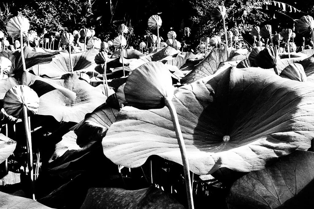 vive la difference: Alle Lotusblüten sind gleich